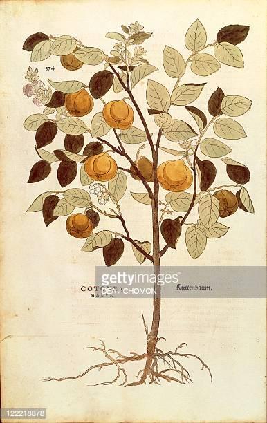 Herbal 16th century Leonhart Fuchs De historia stirpium commentarii insignes 1542 Plate Quince Cydonia oblonga Colored engraving