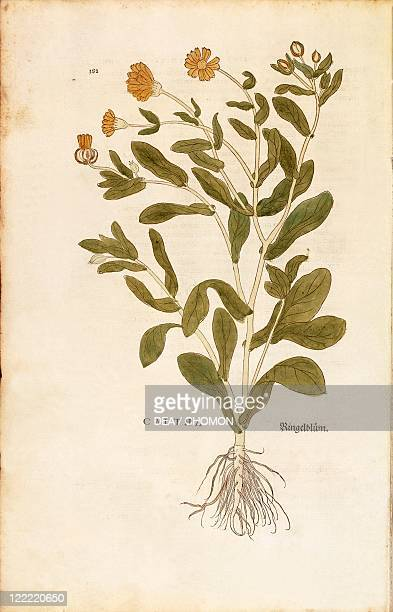 Herbal 16th century Leonhart Fuchs De historia stirpium commentarii insignes 1542 Plate Pot marigold Calendula officinalis Colored engraving