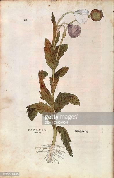 Herbal, 16th century. Leonhart Fuchs , De historia stirpium commentarii insignes , 1542. Plate: Opium poppy - Papaver somniferum . Colored engraving.