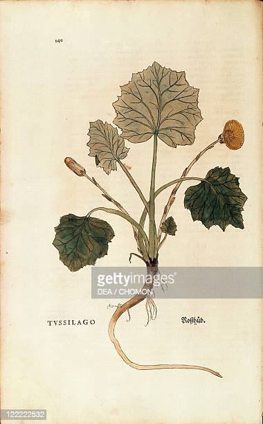 Herbal 16th century Leonhart Fuchs De historia stirpium commentarii insignes 1542 Plate Coltsfoot Colored engraving