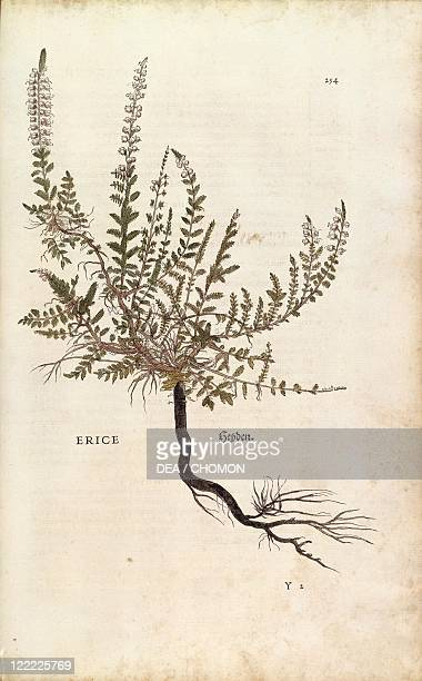 Herbal 16th century Leonhart Fuchs De historia stirpium commentarii insignes 1542 Plate Heather Calluna vulgaris Colored engraving