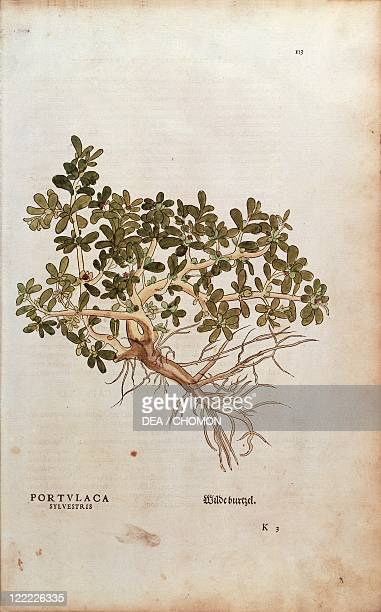 Herbal 16th century Leonhart Fuchs De historia stirpium commentarii insignes 1542 Plate Common Purslane or Pigweed Portulaca oleracea Colored...