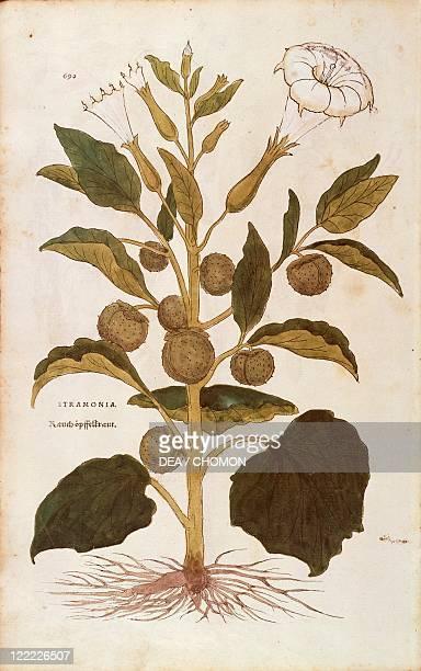 Herbal 16th century Leonhart Fuchs De historia stirpium commentarii insignes 1542 Plate Thorn apple or jimson weed Datura stramonium Colored engraving