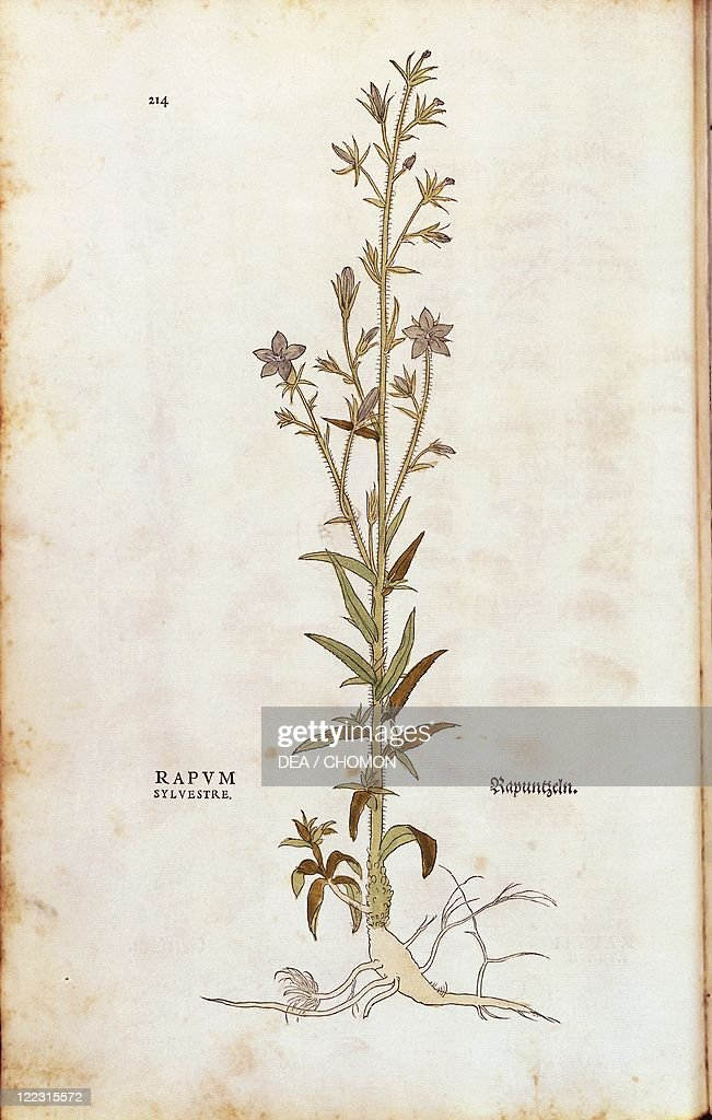 Rampion bellflower - Campanula rapunculus (Rapum sylvestre) by Leonhart Fuchs from De historia stirpium commentarii insignes (Notable Commentaries on the History of Plants) colored engraving, 1542 : News Photo