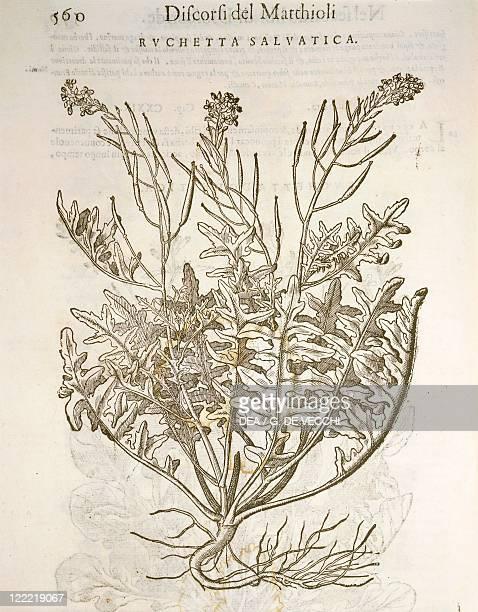 Herbal 16th century Pier Andrea Mattioli Commentary on Dioscorides' work 1554 Volume I Book II Plate Ruchetta salvatica Rocket or arugula Engraving...