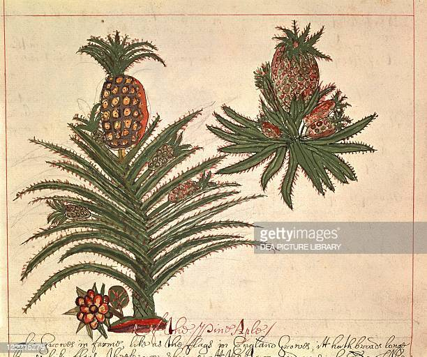 Herbal 17th century A History of East Indian Trees and Plants and of their Medicinal Properties 16001625 Plate Pineapple from Central America Drawing...