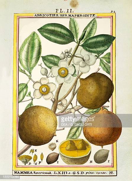 Herbal 18th century Florindie ou Historie physicoeconomique des vegetaux de la Torride 1789 Plate Mammee apple Watercolor by Delahaye
