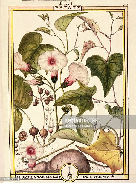 Herbal 18th century Florindie ou Historie physicoeconomique des vegetaux de la Torride 1789 Plate Sweet potato Watercolor by Delahaye