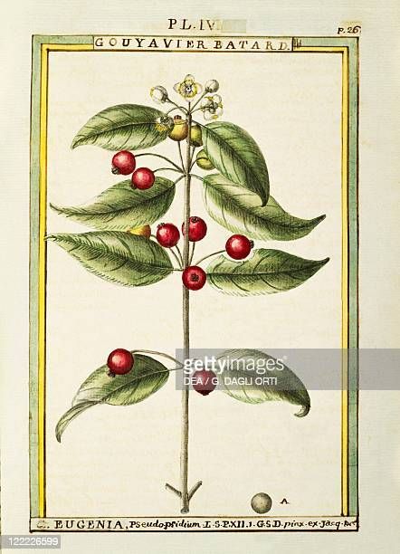 Herbal 18th century Florindie ou Historie physicoeconomique des vegetaux de la Torride 1789 Plate Brush Cherry or Eugenia pseudopridium Watercolor by...