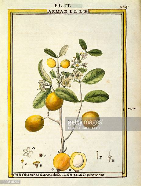 Herbal 18th century Florindie ou Historie physicoeconomique des vegetaux de la Torride 1789 Plate Chrysomelis Armadilla Watercolor by Delahaye