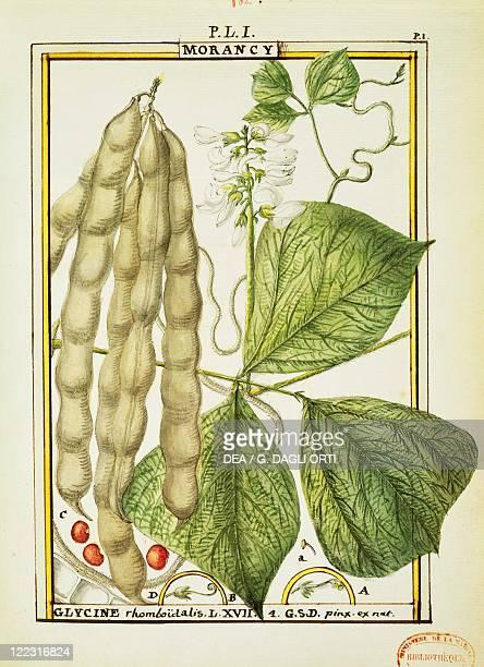 Herbal 18th century Florindie ou Historie physicoeconomique des vegetaux de la Torride 1789 Plate Glycine Rhomboidalis Watercolor by Delahaye
