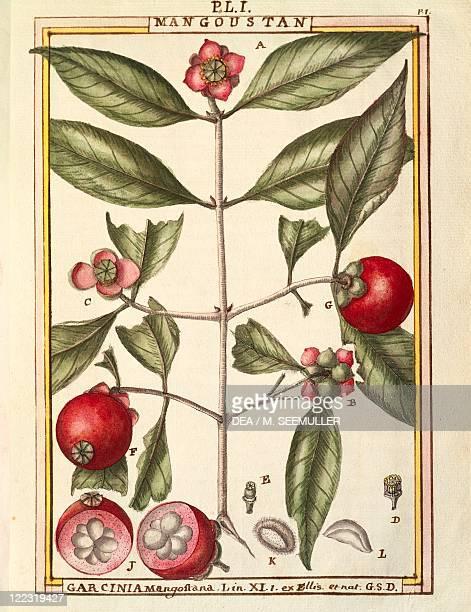 Herbal 18th century Florindie ou Historie physicoeconomique des vegetaux de la Torride 1789 Plate Mangosteen Watercolor by Delahaye