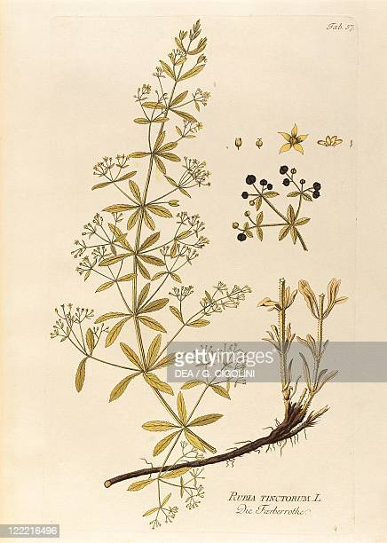 Herbal 18th century Joseph Jacob Plenck Icones Plantarum Medicinalium 1794 Plate Common Madder