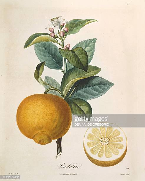 Herbal 18th century Plate Orange Balotin Coloured engraving by Giraud after original drawing by Poiteau
