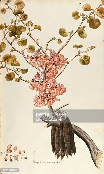 Herbal 18th19th century Iconographia Taurinensis Volume III Plate 19 by Francesco Peyrolery Judas Tree Fabaceae Deciduous tree native to...