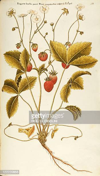 Herbal 18th19th century Iconographia Taurinensis Volume III Plate 58 by Francesco Peyrolery Woodland Strawberry Rosaceae Herbaceous perennial plant...