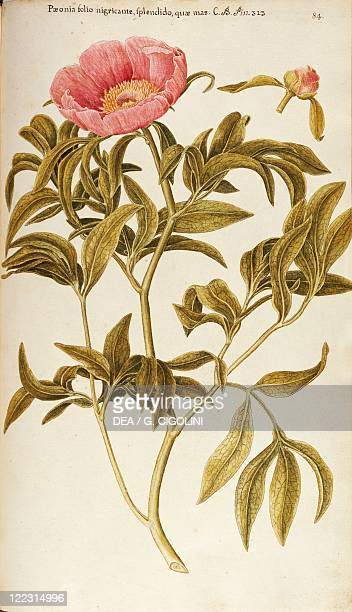 Herbal 18th19th century Iconographia Taurinensis Volume III Plate 84 by Francesco Peyrolery Common Peony Ranunculaceae Shrub or isolated herbaceous...