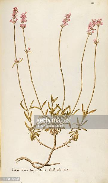 Herbal 18th19th century Iconographia Taurinensis Volume IV Plate 112 by Francesco Peyrolery Labiatae or Lamiaceae Lavender Shrub with persistent...