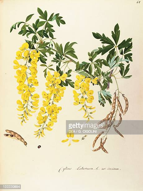 Herbal 18th19th century Iconographia Taurinensis Volume LII Plate 68 by Angela Rossi Bottione Golden Chain Tree Fabaceae Small tree or shrub...