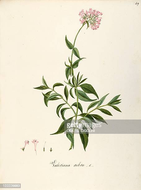 Herbal 18th19th century Iconographia Taurinensis Volume LIII Plate 49 by Angela Rossi Bottione and coworkers Valerianaceae Red Valerian Herbaceous...