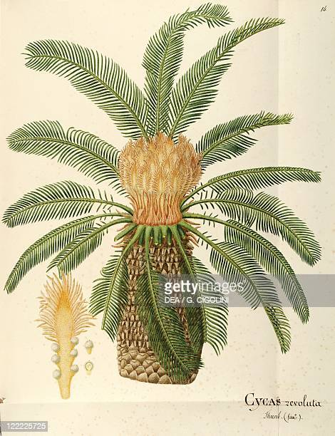 Herbal 18th19th century Iconographia Taurinensis Volume LIV Plate 14 by Angela Rossi Bottione Sago palm Cycadaceae Indoor or temperate greenhouse...