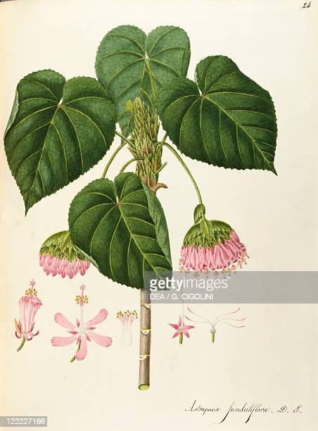 Herbal 18th19th century Iconographia Taurinensis Volume LIV Plate 24 by Angela Rossi Bottione Tropical Hydrangea or PinkBall Sterculiaceae Temperate...