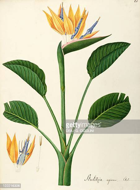 Herbal 18th19th century Iconographia Taurinensis Volume LIV Plate 80 by Angela Rossi Bottione Crane Flower or Bird of Paradise Strelitziaceae Warm...