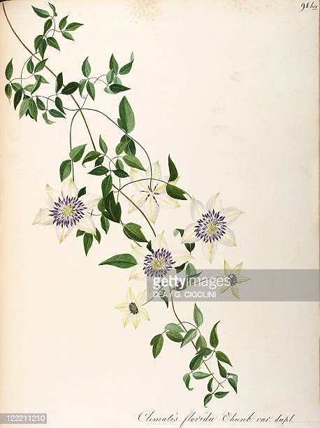 Herbal 18th19th century Iconographia Taurinensis Volume LV Plate 91 by Maddalena Lisa Mussino Asian virginsbower Ranunculaceae Perennial plant native...