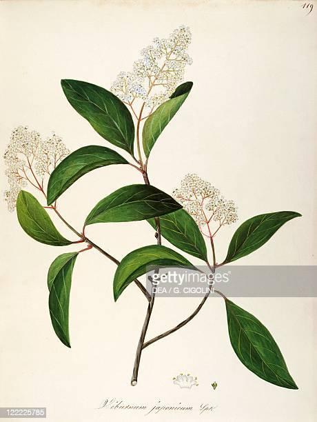 Herbal 18th19th century Iconographia Taurinensis Volume LVIII table 119 by Maddalena Lisa Mussino Caprifoliaceae Wayfaring Tree Shrub with persistent...