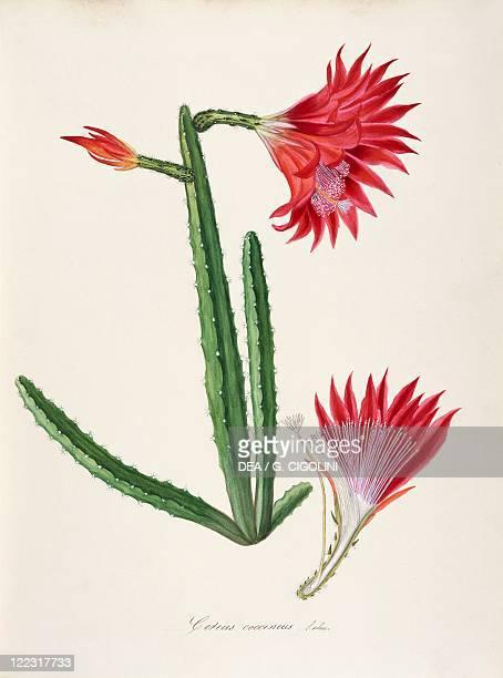 Herbal 18th19th century Iconographia Taurinensis Volume LVIII table 32 by Maddalena Lisa Mussino Cactaceae Cereus coccineus SalmDyck Indoor or...