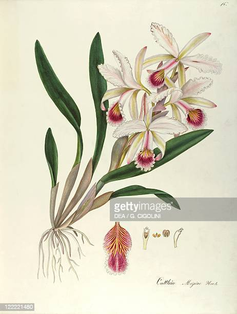 Herbal 18th19th century Iconographia Taurinensis Volume LXI Plate 16 by Maddalena Lisa Mussino Easter orchid Orchidaceae Indoor or warm greenhouse...