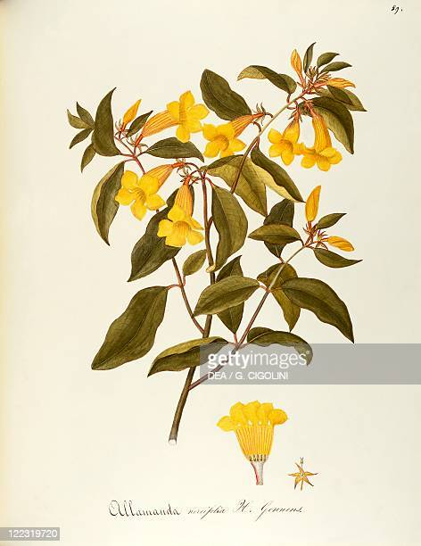 Herbal 18th19th century Iconographia Taurinensis Volume LXII table 89 by Maddalena Lisa Mussino Apocynaceae Bush Allamanda Temperate greenhouse shrub...
