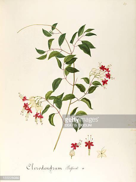 Herbal 18th19th century Iconographia Taurinensis Volume LXIV table 49 by Maddalena Lisa Mussino Verbenaceae Bleeding Glorybower Evergreen shrub...