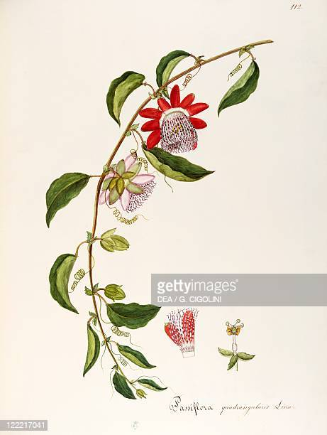 Herbal 18th19th century Iconographia Taurinensis Volume LXIV table 112 by Maddalena Lisa Mussino Passifloraceae Giant Granadilla Climbing shrub...