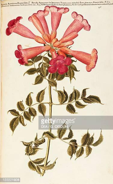 Herbal 18th19th century Iconographia Taurinensis Volume V Table 46 by Francesco Peyrolery Bignoniaceae American Trumpet Vine Woody climbing vine...
