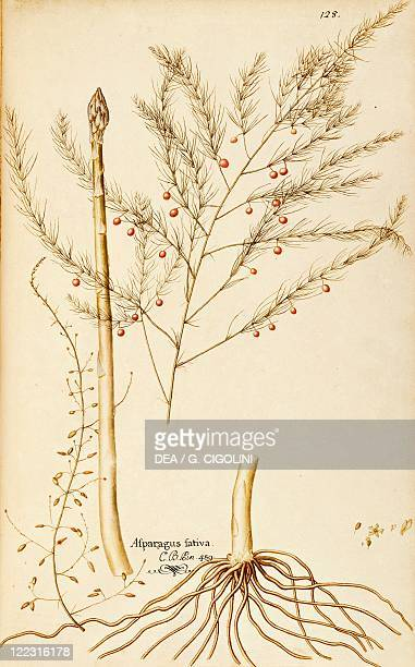 Herbal 18th19th century Iconographia Taurinensis Volume VII Plate 128 by Francesco Peyrolery Asparagus officinalis Rhizome plant cultivated for food...
