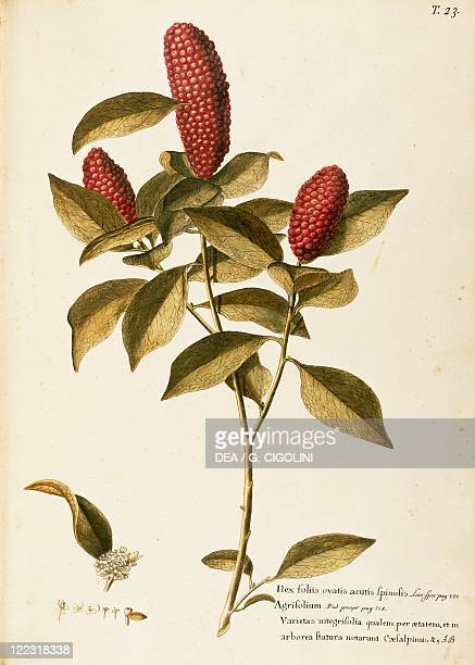 Herbal 18th19th century Iconographia Taurinensis Volume XIII Plate 23 by Francesco Peyrolery and Giovanni Antonio Bottione Common holly Aquifoliaceae...