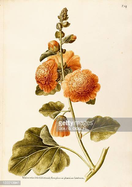 Herbal 18th19th century Iconographia Taurinensis Volume XIV Plate 15 by Francesco Peyrolery Common Hollyhock Malvaceae Herbaceous biennial plant for...