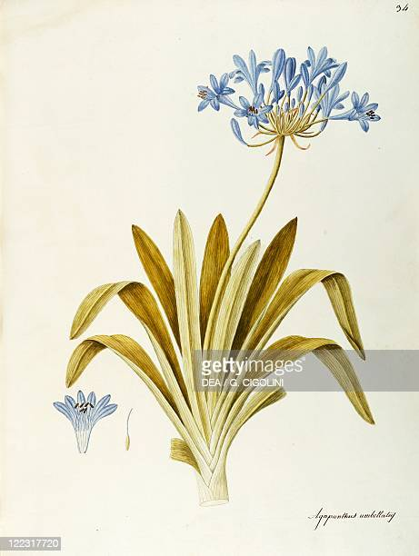 Herbal 18th19th century Iconographia Taurinensis Volume XL Plate 34 by Angela Rossi Bottione African Lily Amaryllidaceae Bulbous plant for flower...