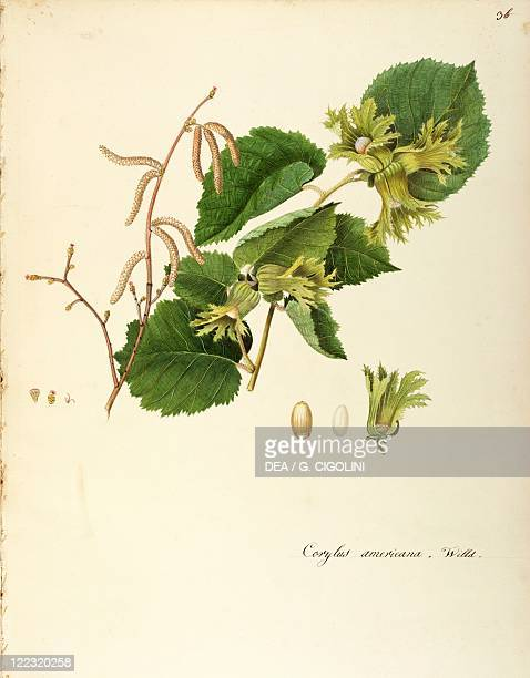 Herbal 18th19th century Iconographia Taurinensis Volume XL Plate 34 by Angela Rossi Bottione American hazelnut Betulaceae Deciduous shrub for hedges...