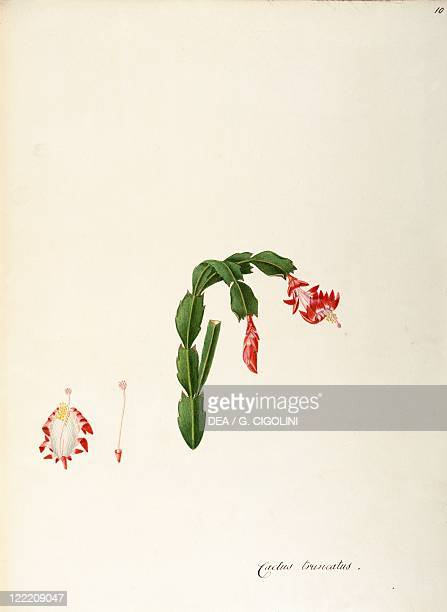 Herbal 18th19th century Iconographia Taurinensis Volume XLIX Plate 10 by Angela Rossi Bottione and coworkers Cactaceae Thanksgiving cactus Indoor or...