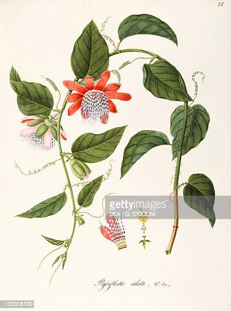 Herbal 18th19th century Iconographia Taurinensis Volume XLIX Plate 32 by Angela Rossi Bottione and coworkers Passifloraceae Wingedstem Passion Flower...