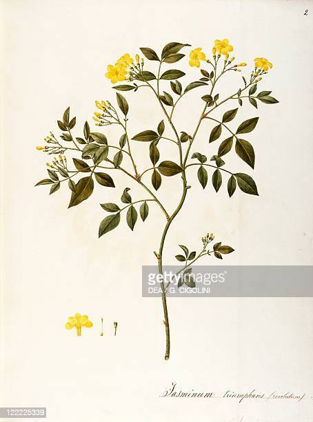 Herbal 18th19th century Iconographia Taurinensis Volume XLV Plate 2 by Angela Rossi Bottione Oleaceae Yellow Jasmine Jasminum humile variety...