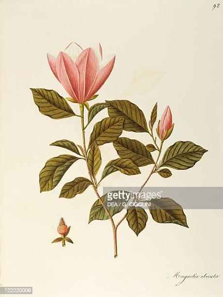 Herbal 18th19th century Iconographia Taurinensis Volume XLV Plate 92 by Angela Rossi Bottione Japanese Bigleaf Magnolia Magnoliaceae Deciduous tree...