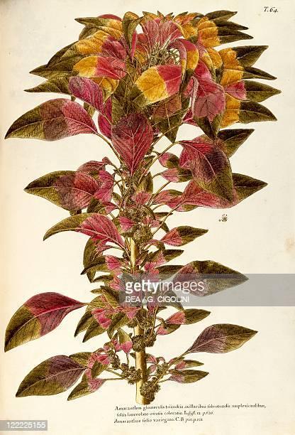 Herbal 18th19th century Iconographia Taurinensis Volume XX Plate 64 by Giovanni Antonio Bottione Joseph's coat amaranth or Tampala Amaranthaceae...
