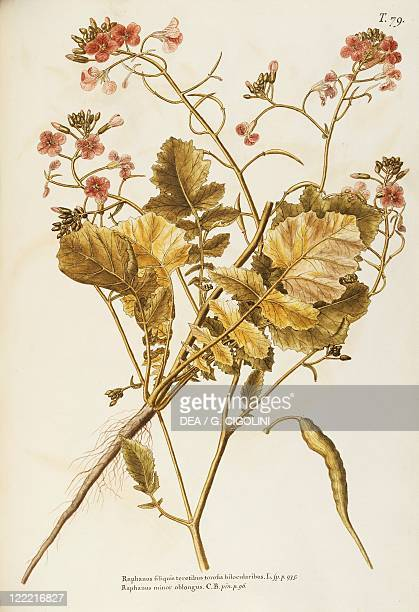 Herbal 18th19th century Iconographia Taurinensis Volume XX Plate 79 by Giovanni Antonio Bottione Wild Radish or Jointed Charlock Cruciferae...