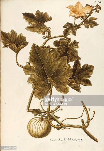 Herbal 18th19th century Iconographia Taurinensis Volume XXII Plate 86 by Giovanni Antonio Bottione Cucurbitaceae Field Pumpkin Herbaceous climbing...