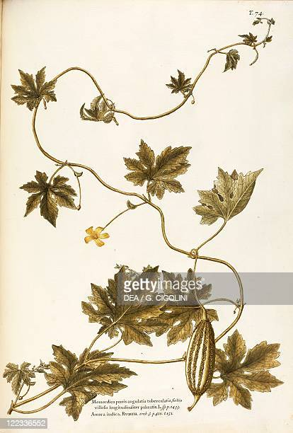 Herbal 18th19th century Iconographia Taurinensis Volume XXIII Plate 74 by Giovanni Antonio Bottione Cucurbitaceae Balsam Apple or Southern Balsampear...