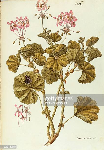 Herbal 18th19th century Iconographia Taurinensis Volume XXIX Plate 36 by Giovanni Antonio Bottione Horseshoe Geranium Geraniaceae Herbaceous plant...