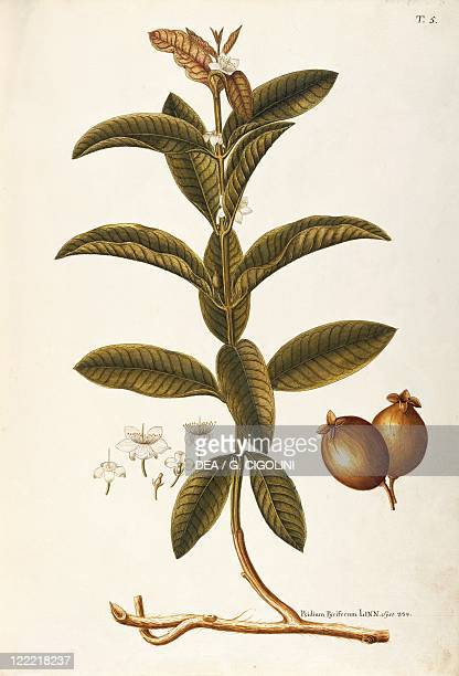 Herbal 18th19th century Iconographia Taurinensis Volume XXVII Plate 5 by Giovanni Antonio Bottione Myrtaceae Apple Guava Temperate greenhouse shrub...